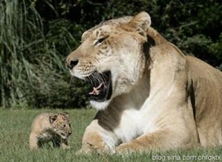 7 Singa Terbesar Di Dunia