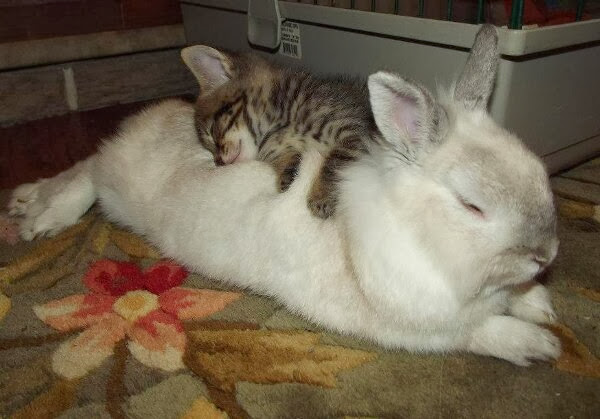 Funny animals of the week - 6 December 2013 (35 pics), kitten sleeping on rabbit