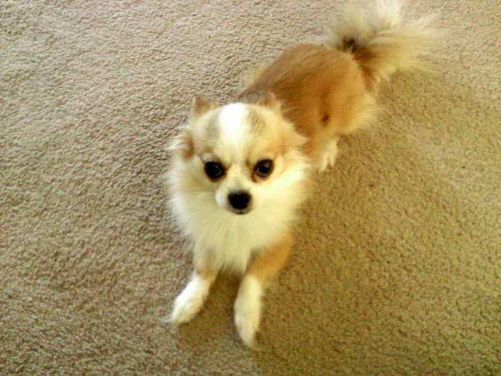 siberian husky pomeranian mix dog training home dog types