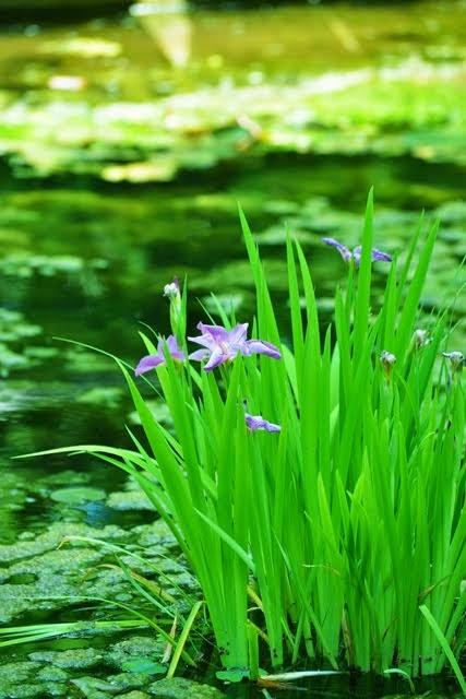 Purple Iris_6500