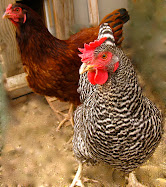 Our Hens Gracie &amp; Flossie!
