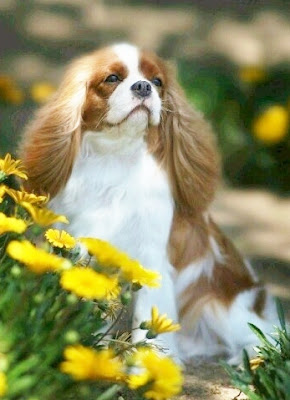 Cavalier Puppy Pictures