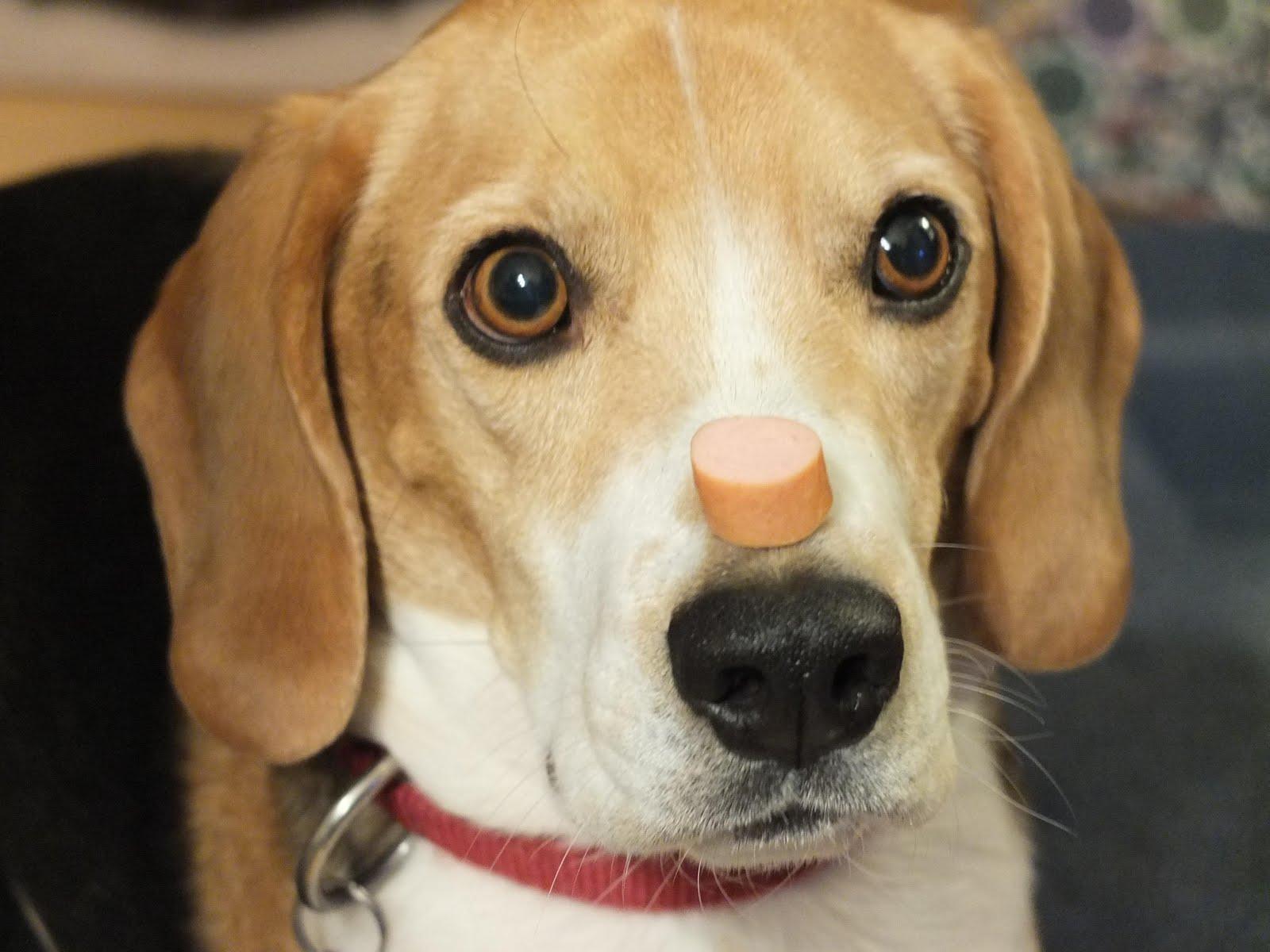 ein beagle auf wanderschaft beagle total verschnupft. Black Bedroom Furniture Sets. Home Design Ideas