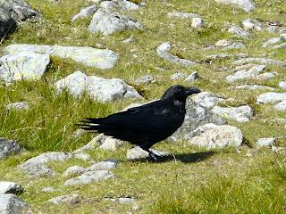 juv Raven, Moel Siabod