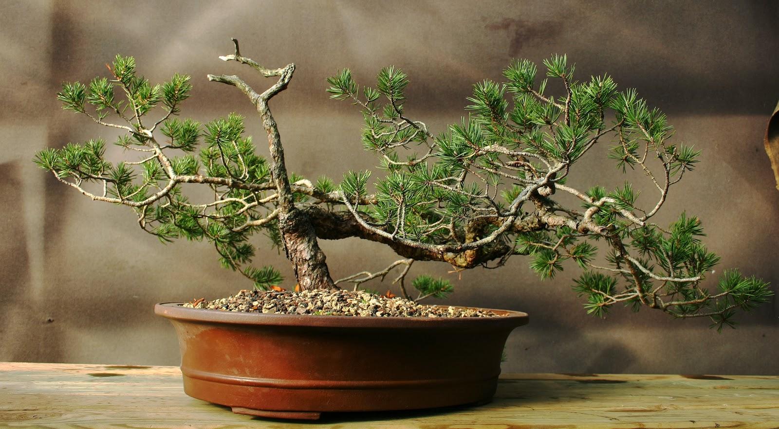 Profession bonsa pin sylvestre vendre - Bonsai arbre prix ...
