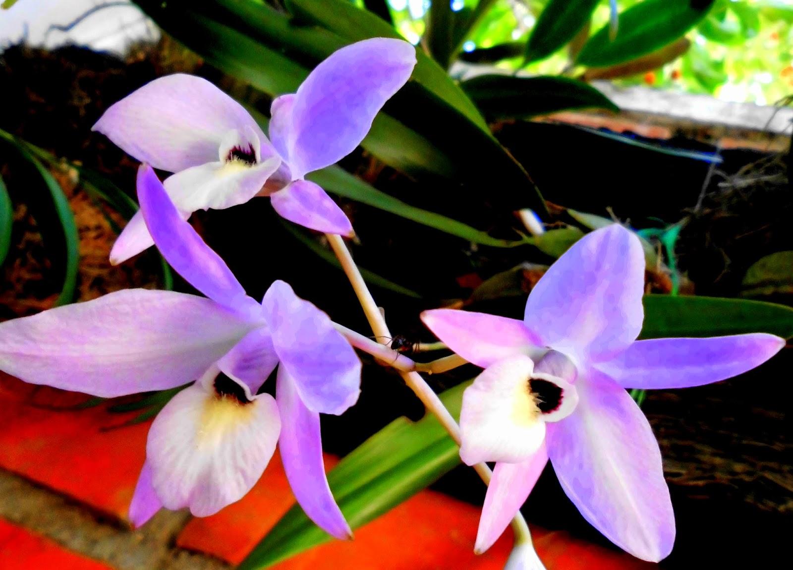Orquídeas Guaria Morada, flores moradas