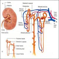 Sistem Ekskresi Hati : Fungsi Hati sebagai Alat Ekskresi