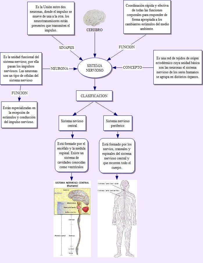 Fantástico Gráfico De Sistemas Corporales Ideas - Anatomía de Las ...