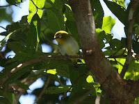 gambar burung kacamata Kacamata Kai, Zosterops grayi