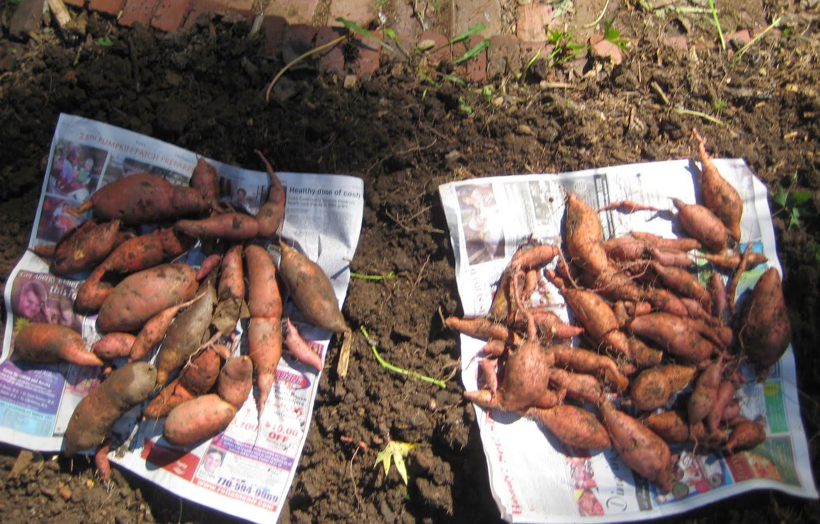 Newly harvested home garden sweet potatoes PHOTO/Amy W. & UGA Extension in Cobb County: Curing Sweet Potatoes Enhances ...