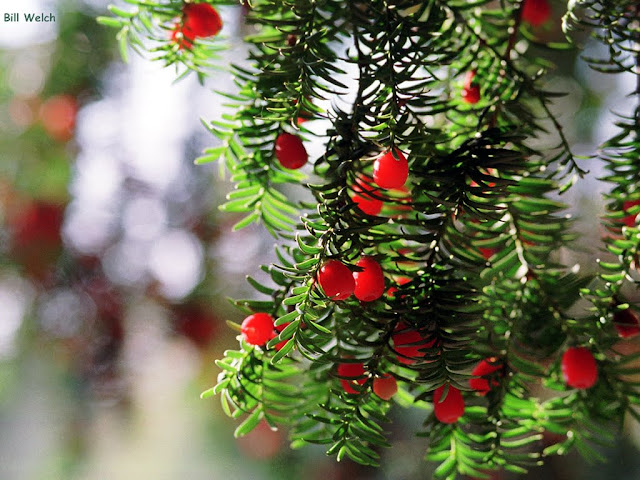 Yew berries in Kelsey Park.