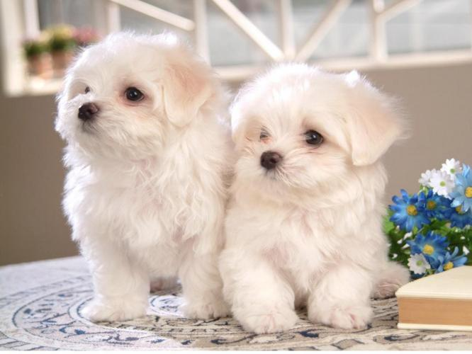 Cute Puppy Dogs: Cute bichon frise puppies Bichon Frise Akc
