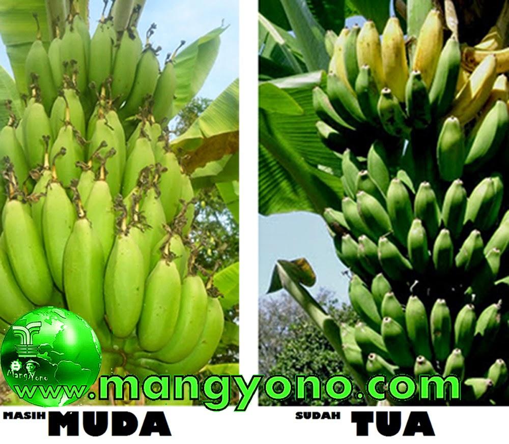 Cara mengetahui buah pisang yang sudah tua