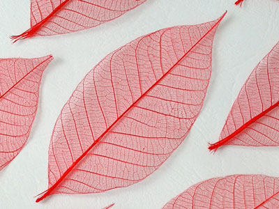 pertulangan daun