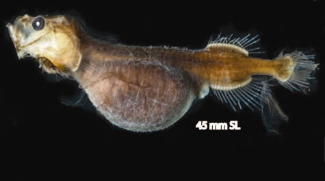 Angler Fish Mating on In A Bizarre Deep Sea Version Of Foie Gras Male Whalefish Stuff