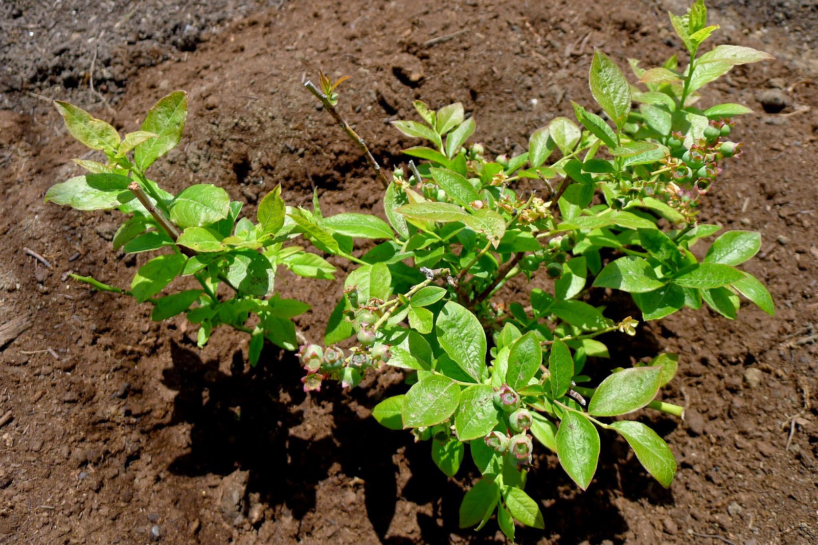 Northland Blueberry, edible landscaping