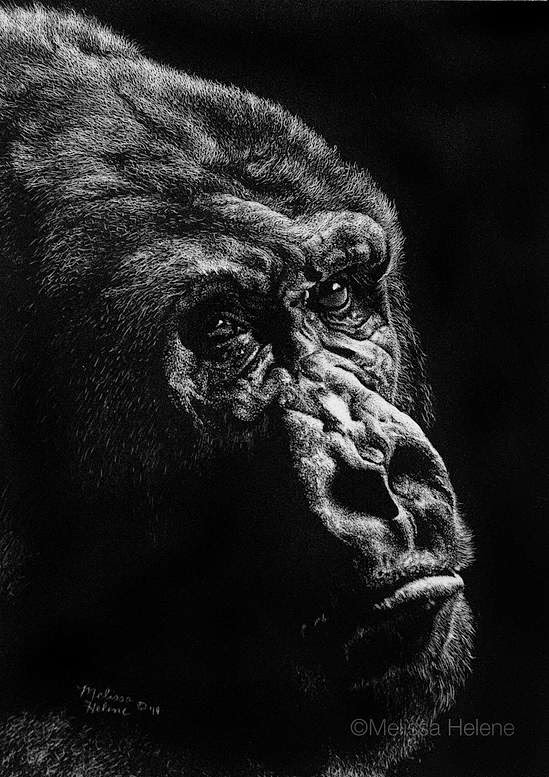 14-Gorilla-Melissa-Helene-Amazing-Expressions-in-Scratchboard-Animal-Portraits-www-designstack-co