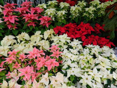 Layers of poinsettias Allan Gardens Conservatory Christmas Flower Show 2015 by garden muses-not another Toronto gardening blog