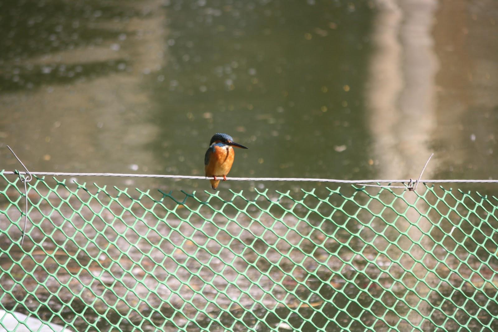 Birds In DelhiIndia Common Kingfisher