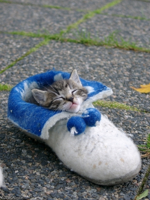 cat in shoe