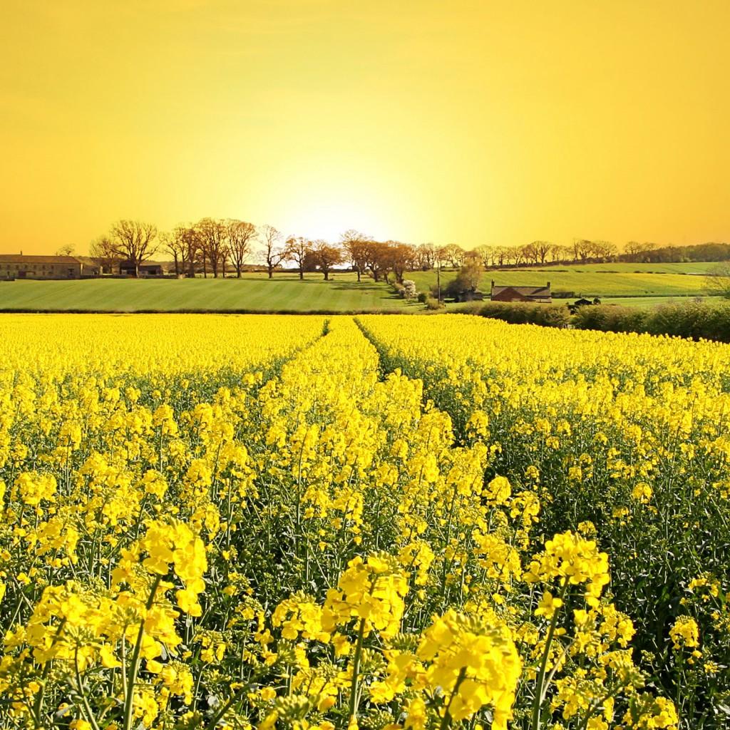 http://1.bp.blogspot.com/-9pNjnnqirdE/USXnXY1tjiI/AAAAAAAAIKg/cmW5rKUb79k/s1600/Yellow-flower-field-spring-wallpaper_1024x1024.jpg
