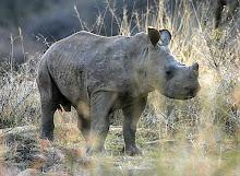 WWF ; Adopt an Rhino