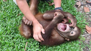 Funny Laughing Monkey