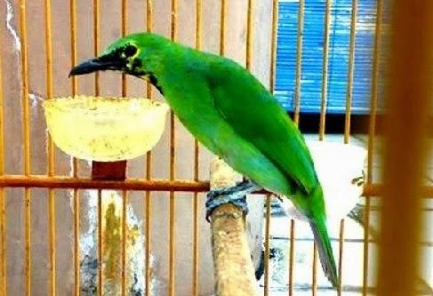 Burung Cucak Ijo Burung Pengicau