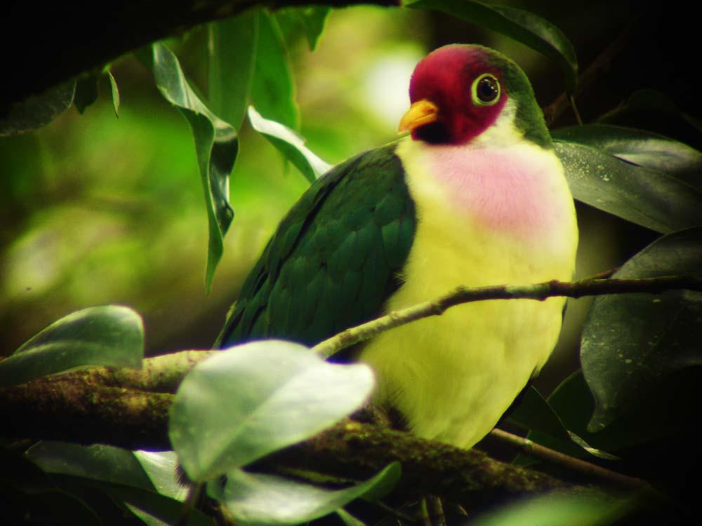 jambu fruit dove flying - photo #37