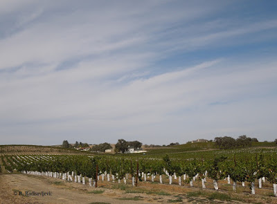 Young Vineyard, Summerwood, Paso Robles, © B. Radisavljevic