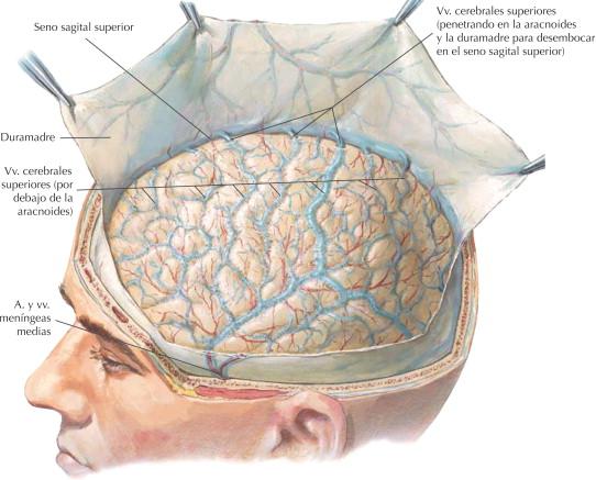 Sistema nervioso: meninges | Netter Blog