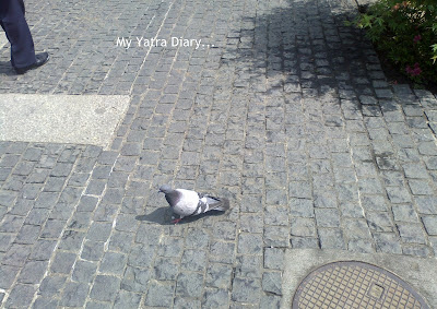 A pigeon wandering aimlessly in the sensoji temple p