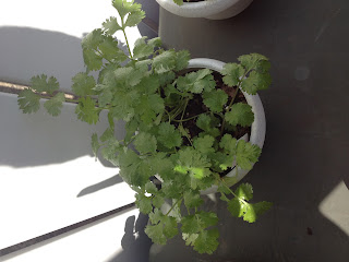 cilantro potted plant