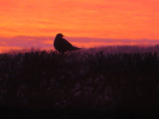 Female blackbird watching the sunrise.