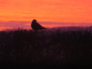 Female blackbird watching the sunrise.