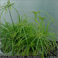 Cyperus alternifolius 'Zumula' - Cibora zmienna, papirus, kocia trawa