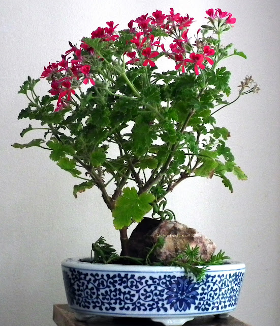 Pelargonium Shottesham Pet, Concolor Lace, Filbert in full bloom