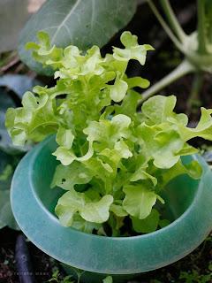 Salat - Tipps mehrmals ernten