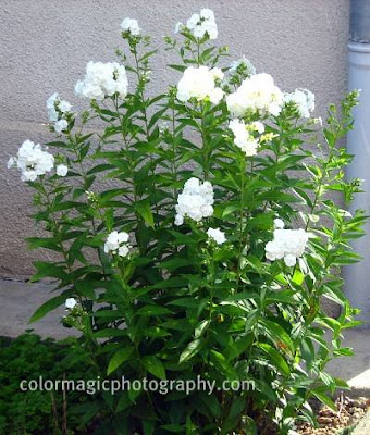 White border phlox plant