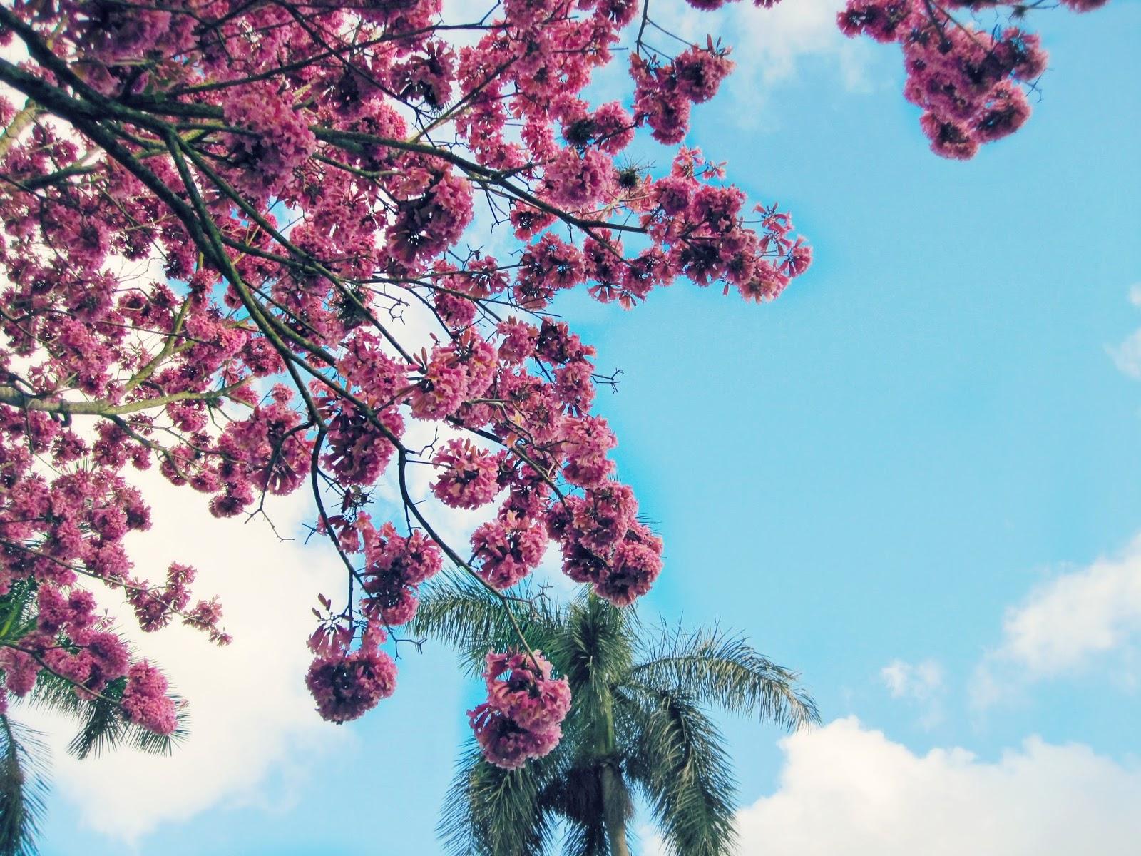 Spring Break In Florida, pink flower tree, pink flowers, florida trees