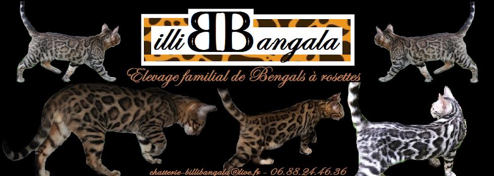 ~ Chatterie BILLI BANGALA ~ Elevage familial de Bengals
