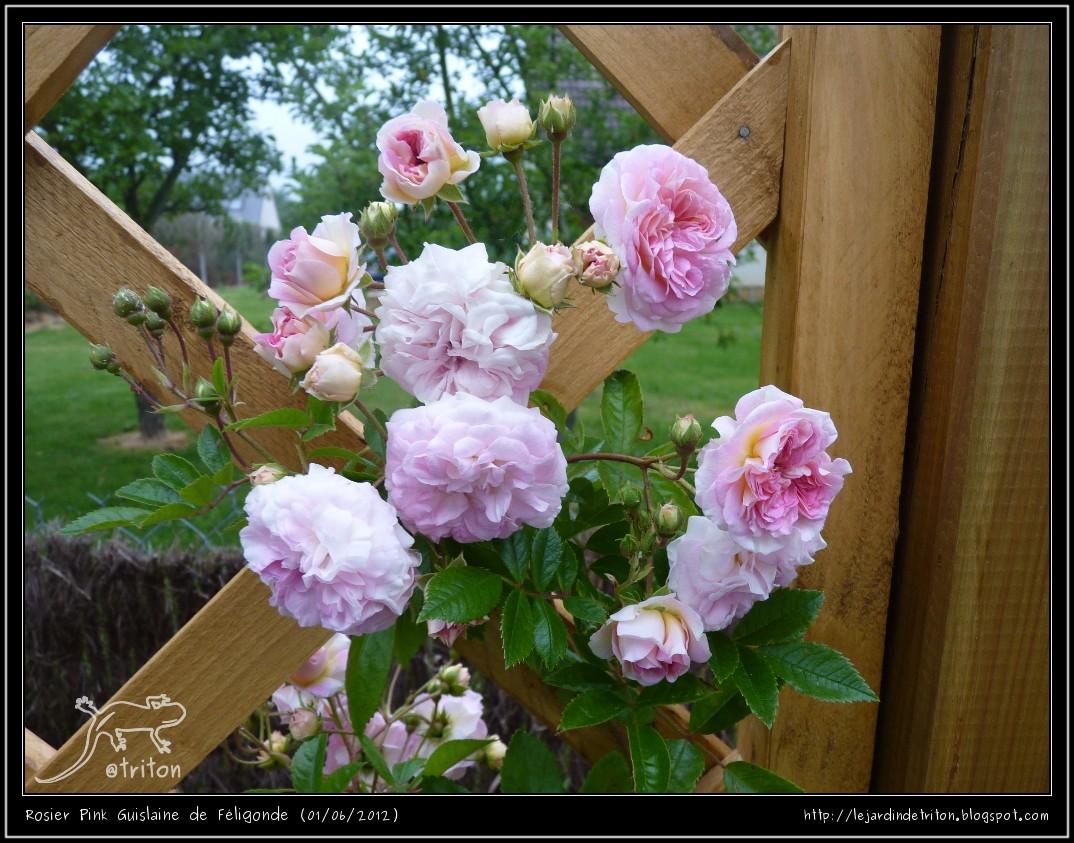 Pink Ghislaine de Féligonde (Ducher et David - 2007) Pink_guislaine_de_f%25C3%25A9ligonde_1