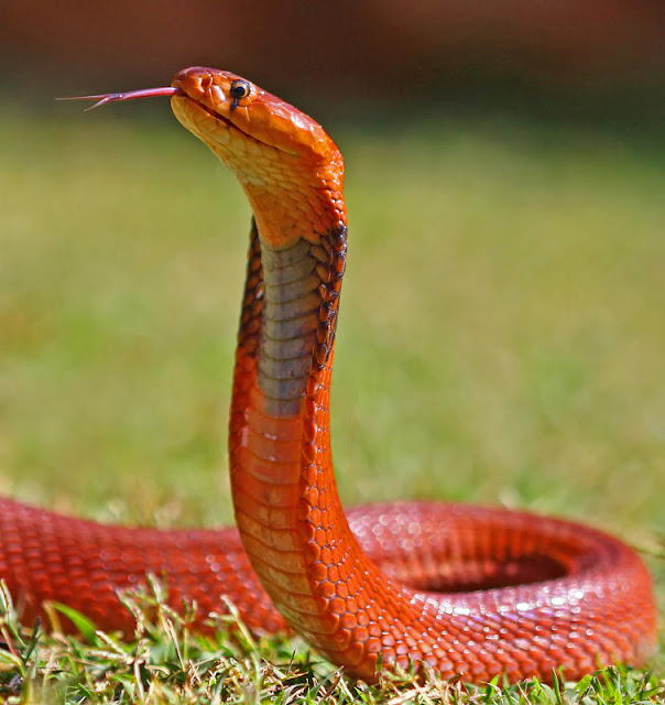 copyofredknight Amazing Colorful Snakes   Most Beautiful Venomous Snakes of the World