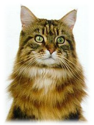 Cat With Triangular Head And Long Muzzle