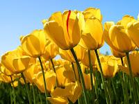 image Yellow tulips