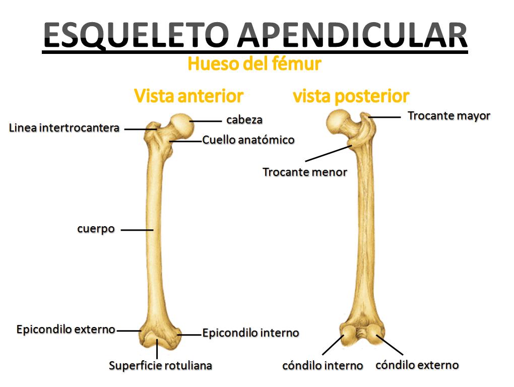 Atractivo Anatomía Hueso Peroné Bosquejo - Anatomía de Las ...