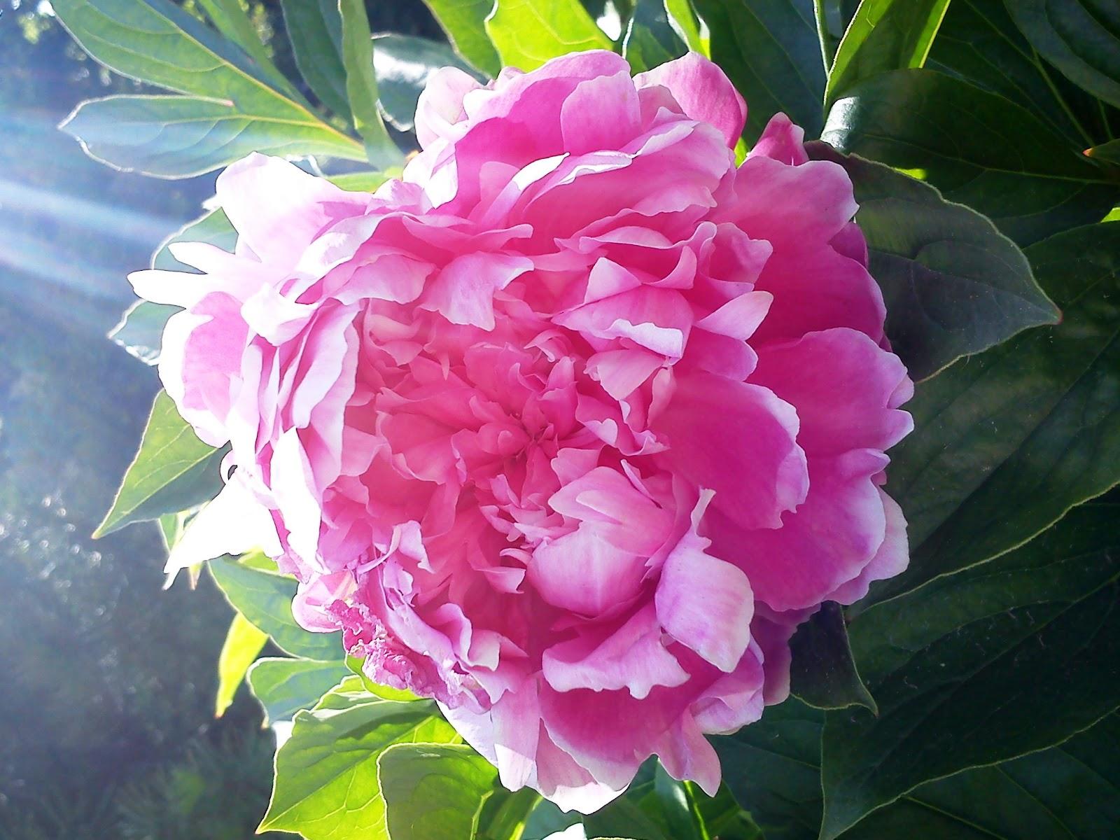 questa è una Peonia, ho cercato un bel fiore per voi dans fiori e piante peonia1