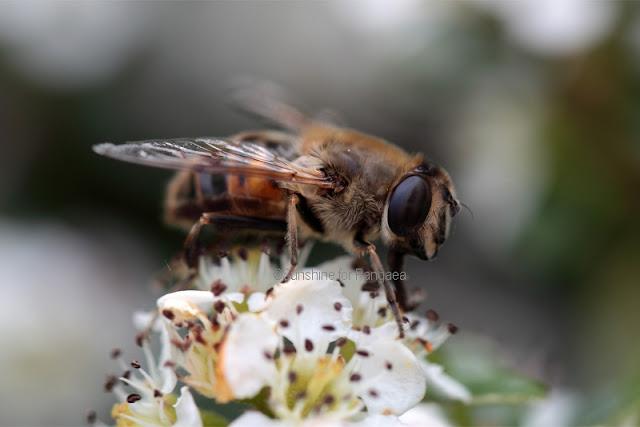 European Hoverfly Eristalis tenax