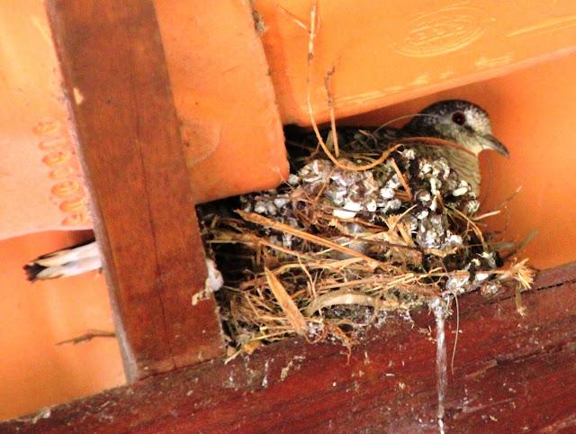 Esta é a rolinha que estava cantando no ninho