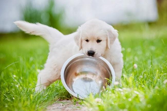 Żywienie psa suchą karmą